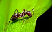 Kousnutí od mravence