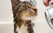 Co dělat kdyžmá kočka blechy