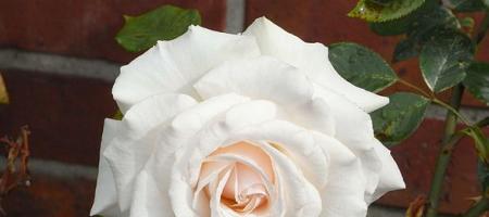 Růžový olej domácí výroba