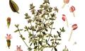 Tymián obecný (Thymus vulgaris)