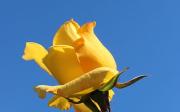 Pěstování růží